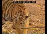 Наглая обезьяна против тигров, смешное видео.