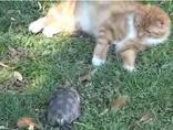 Черепаха-убийца, прикольное видео.
