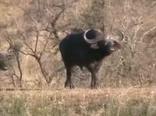 Битва на Крюгере. Сражение между буйволами и львами. Документальное видео.